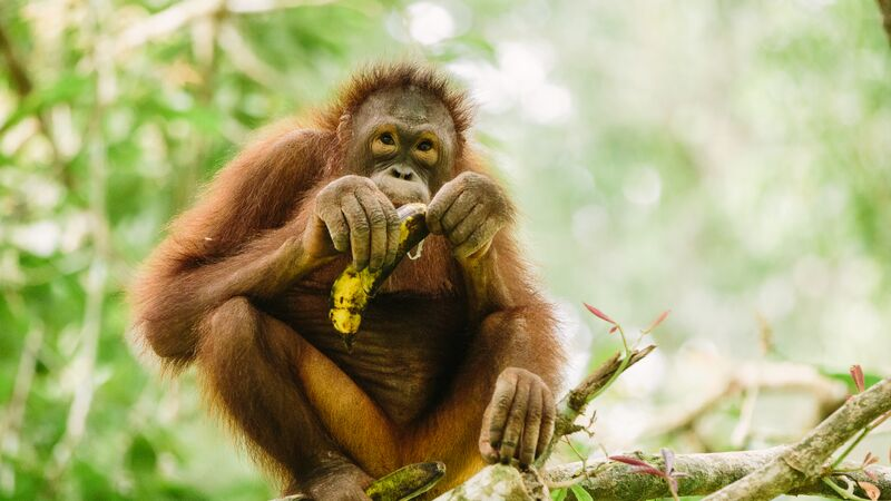 An orangutan eating a banana