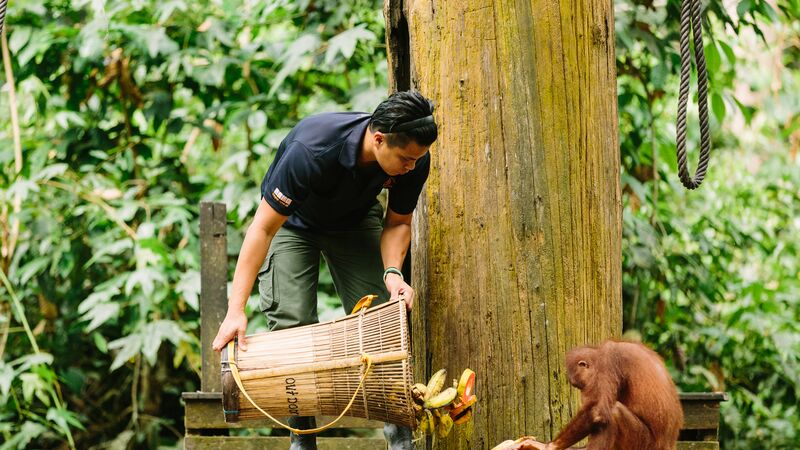 A ranger feeds an orangutan