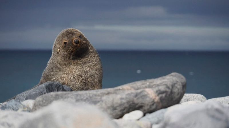 A chubby baby seal sitting on a rock