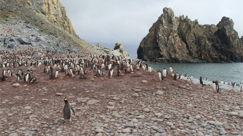 Hundreds of penguins at a rookery