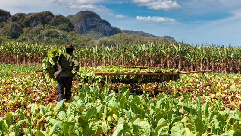 cuba travel restrictions 2019 vinales tobacco field