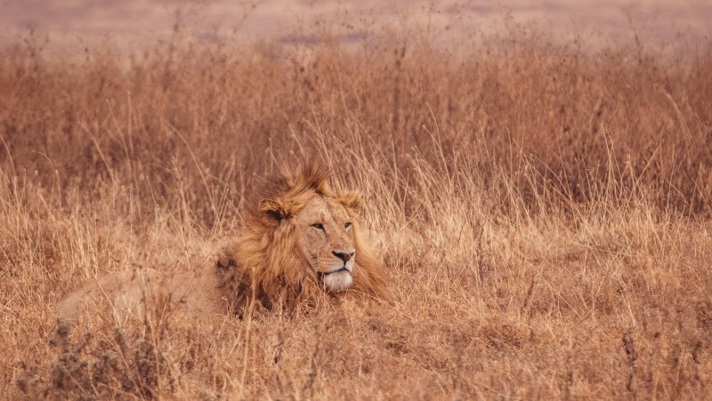 A lion lies in the long grass in Serengeti National Park