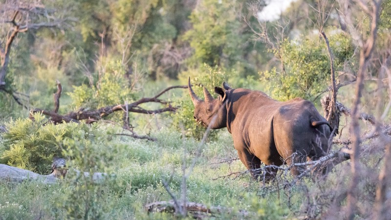 A rhino stands in Kruger National Park, Zimbabwe