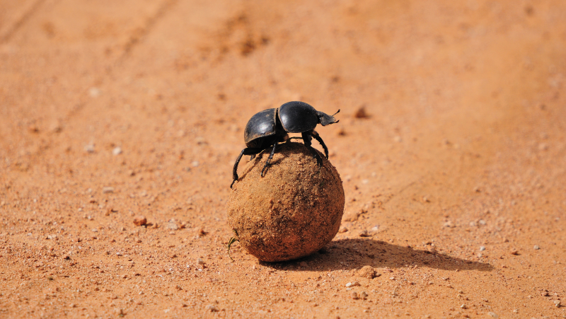 A dung beetle in Addo Elephant National Park