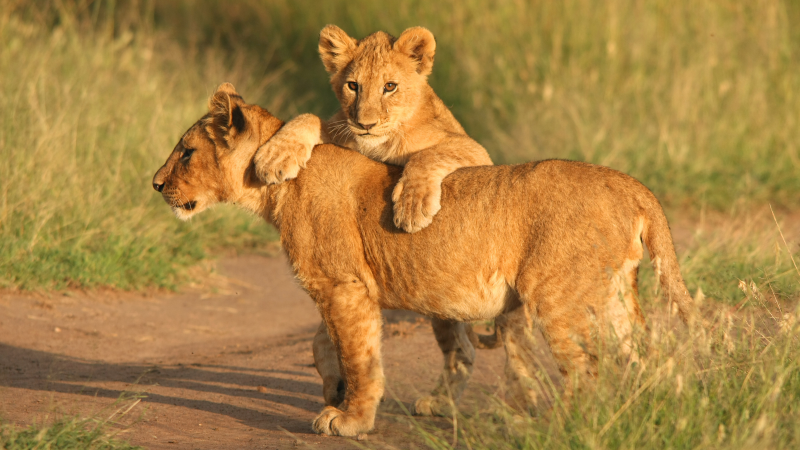 Young cubs hang out in Kruger National Park
