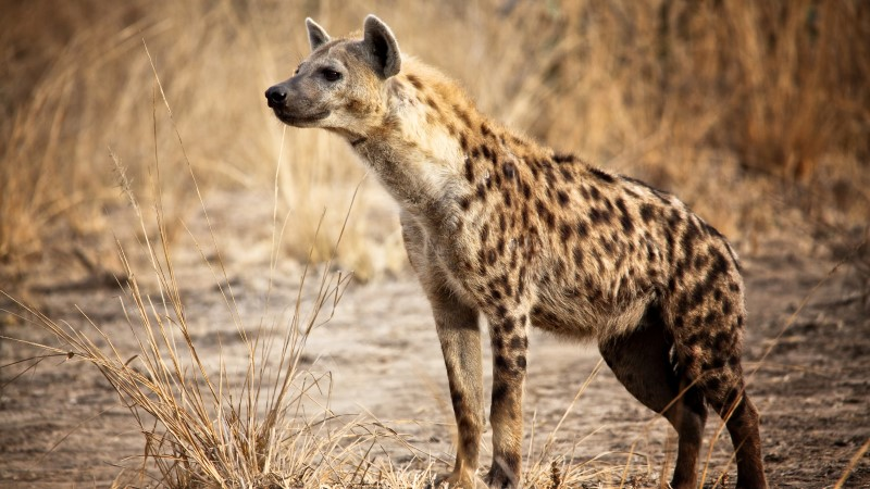 A spotted hyena seen on safari in Zambia