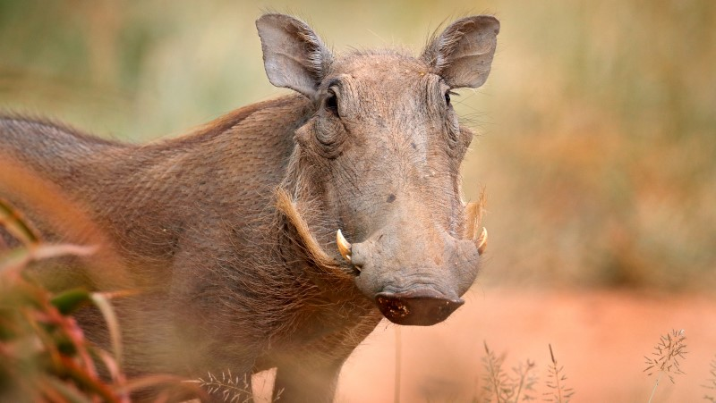 A common warthog spotted on safari in Kruger National Park, Kenya