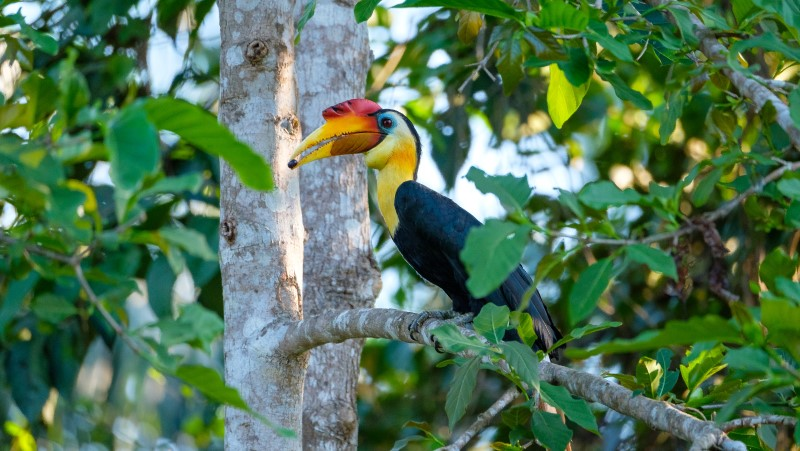 A wrinkled hornbill perches high in a tree