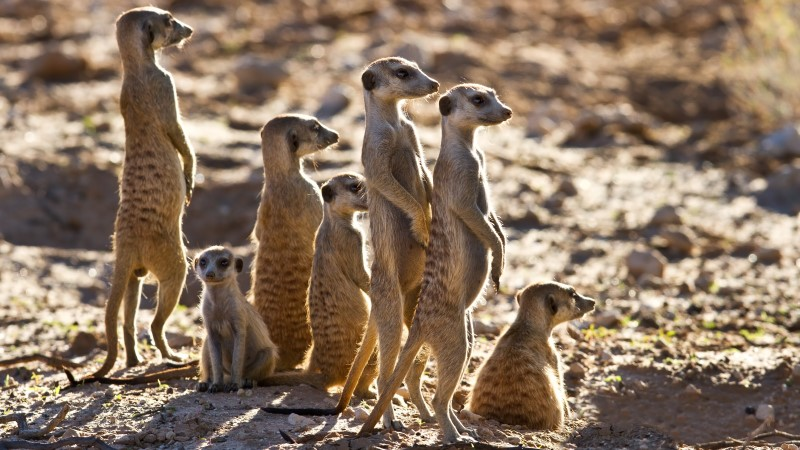 Meerkats survey the area for danger in the Kalahari Desert