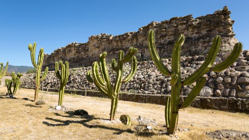 A row of cactus in front of a crumbling ruin in Mexico