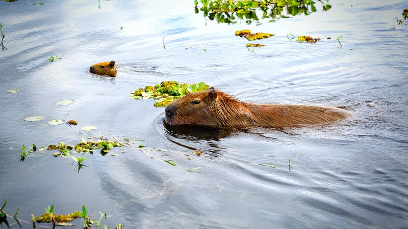 Two capybaras swimming in a river