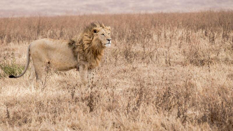 A lion in Tanzania