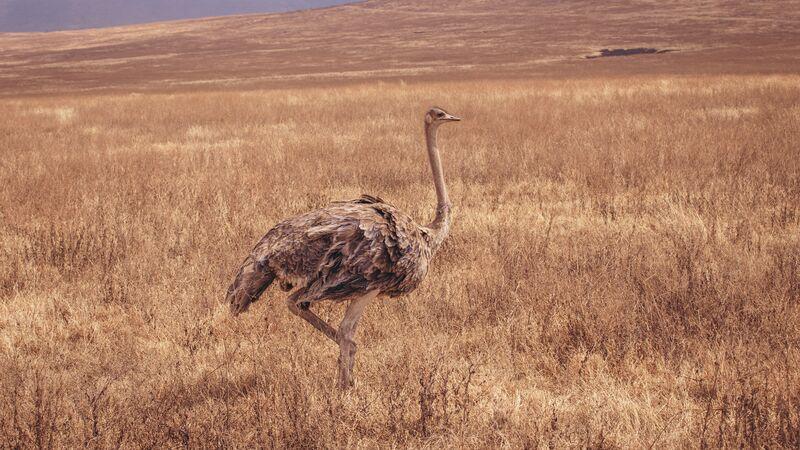 An ostrich in Tanzania