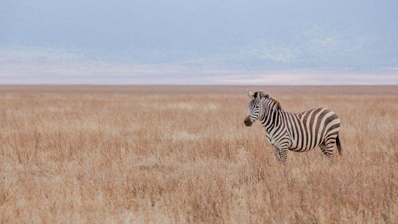A lone zebra in Tanzania