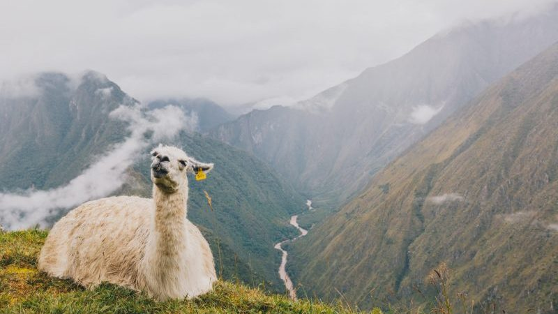 A llama sitting on a hill on the Inca Trail