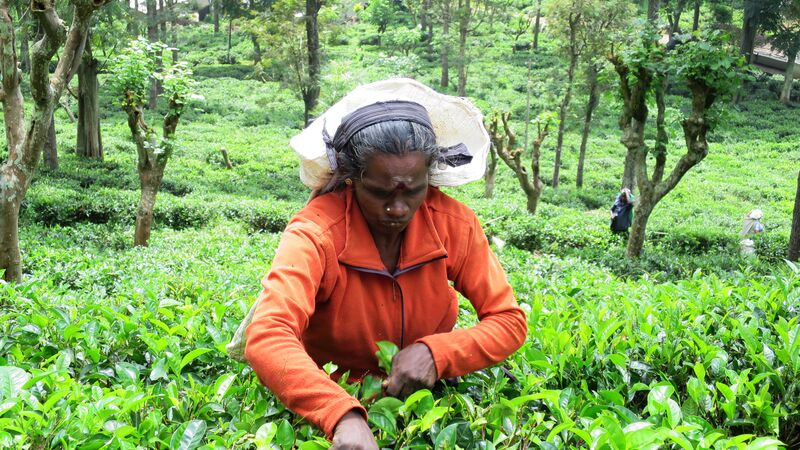 A woman picking tea in Sri Lanka