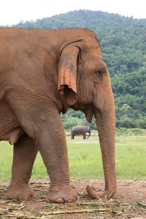 An elephant in Thailand
