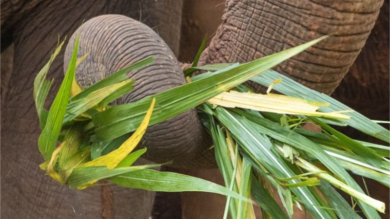 A close-up of an elephants trunk wrapped around a bunch of grass