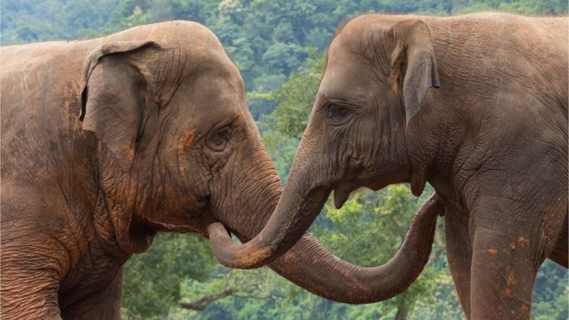 Two elephants stroking each other with their trunks