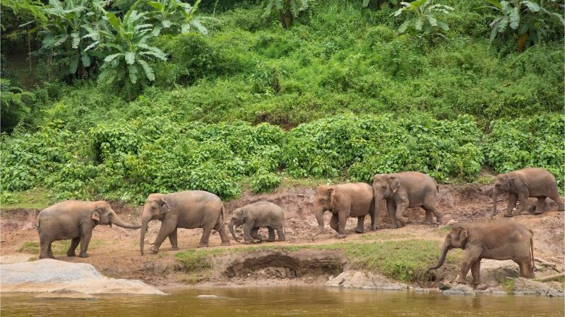 A herd of elephants on the banks of a river in Thailand