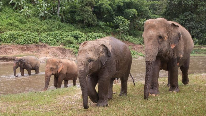 Four elephants walking along the river