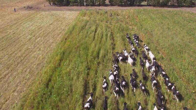Cows running through a field