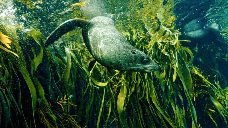 A seal swimming through seaweed