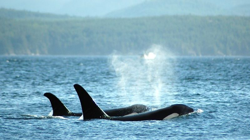 Two killer whales breaching in Canada