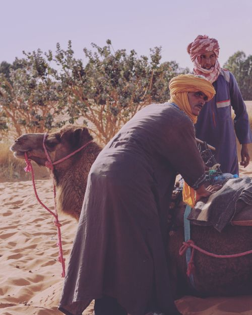 Two men putting a saddle on a camel.