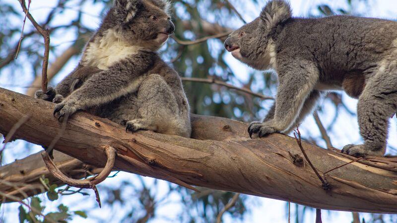 Koalas on Kangaroo Island