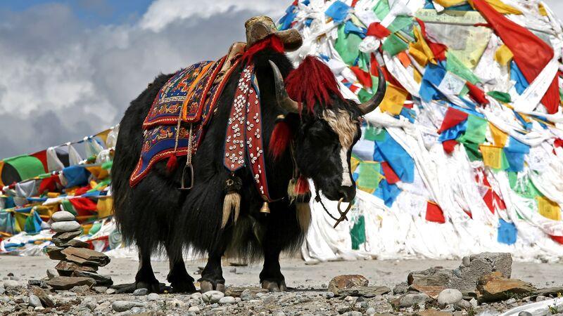 yak in Bhutan