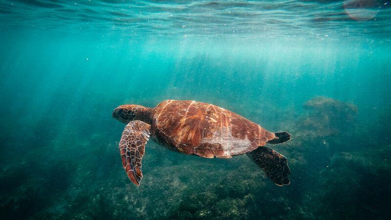 A tortoise swimming.