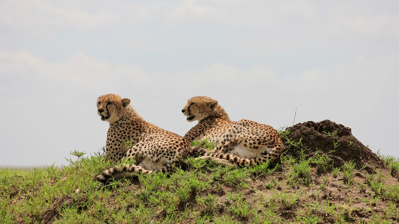 Two cheetahs in Tanzania.