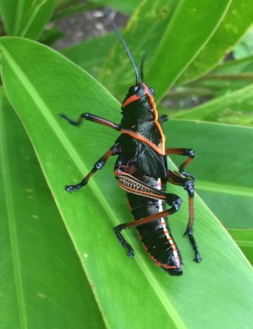 A grasshopper on a leaf