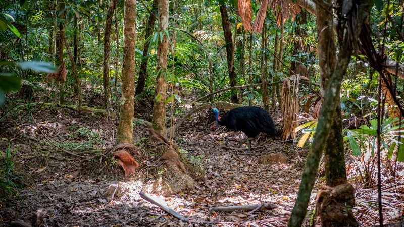 A cassowary in the wild