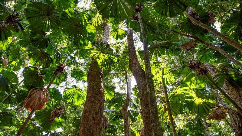Daintree fan palms
