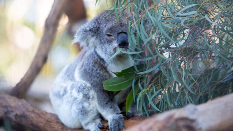 A koala eating leaves