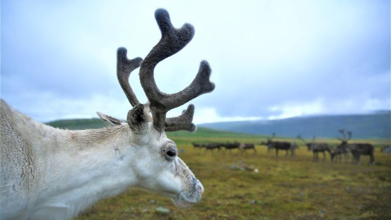A reindeer standing in a field