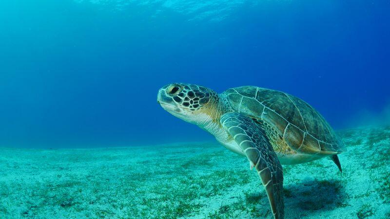 Sea turtles in Turkey.