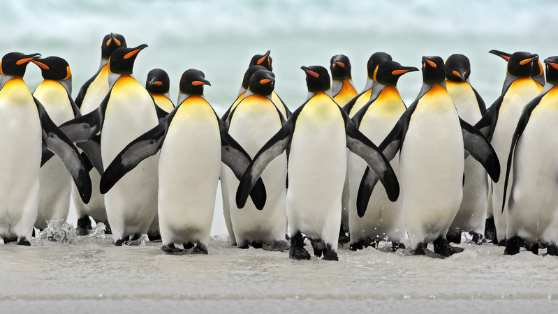 King penguins in South Georgia