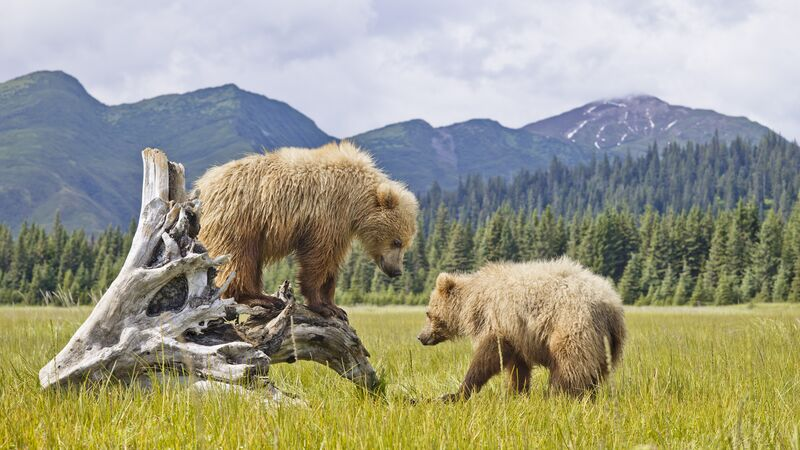 Two bears playing in Denali National Park