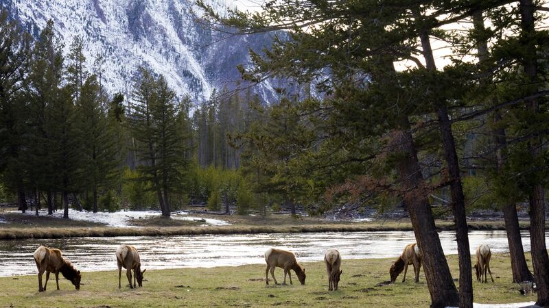 A herd of elk in Yellowstone National Park