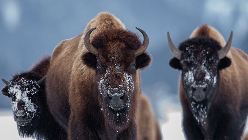 A herd of bison dusted with snow in Lamar Valley