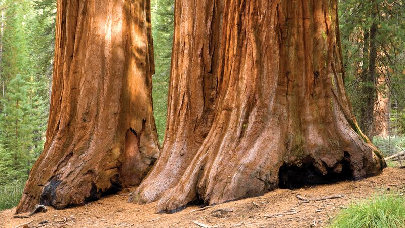 Giant sequoia trees in Yosemite National Park