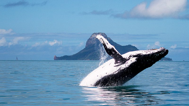 A whale breaching in the Whitsundays
