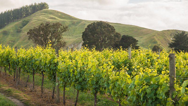 Hawkes Bay vineyard