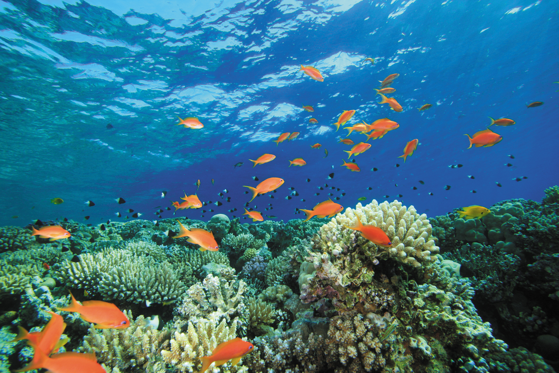 Fish swimming in the coral reef, Belize