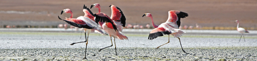 Flamingoes at Bolivian salt flats