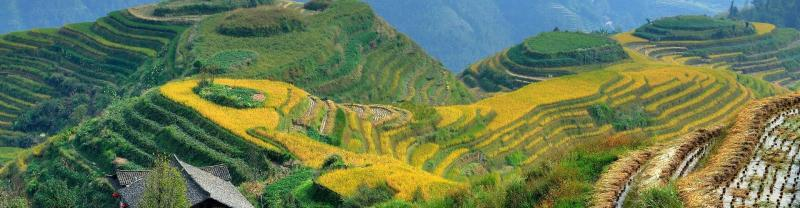 Landscape photo of rice fields in China