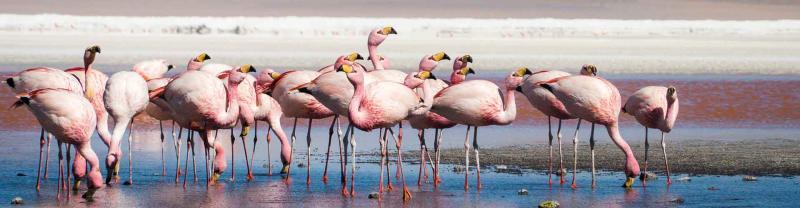 Flamingos gather at salar de uyuni in bolivia